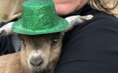 St. Patrick's Day Goat Yoga at Back Bay Farmhouse Brewery 2019 Music Video